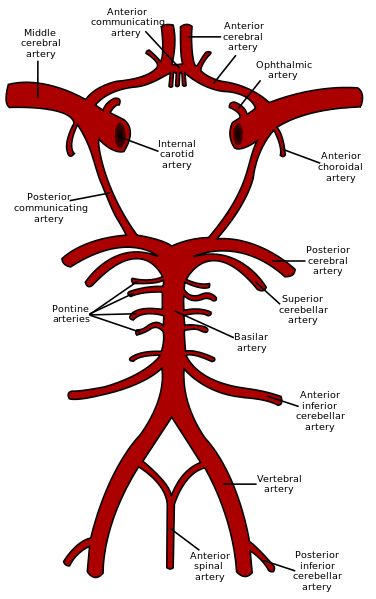 376px-Circle_of_Willis_en.png