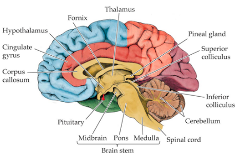 the hypothalamus and homeostasis - bethopedia, Human body