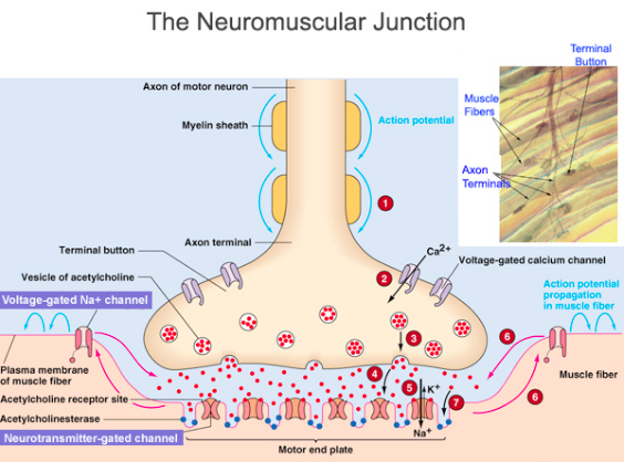 neurotransmission of the reticular system