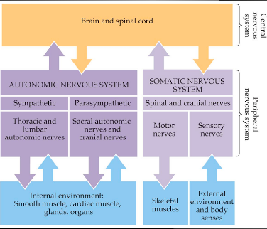 The Somatic and Autonomic Nervous Systems - Bethopedia | 376 x 322 png 80kB